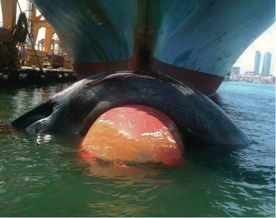Pygmy Blue Whale in Colombo harbour, draped on the bow of a container ship. PHOTO CREDIT: SOPAKA KARUNASUNDARA