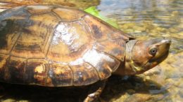 Philippine Forest Turtle