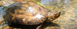 Philippine Forest Turtle